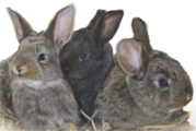Custom Rabbit Antibody Services